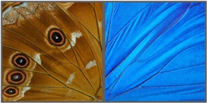 hide & seek (great blue morpho) by craig dennis and susan eder