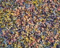 varicolored rockweed, alaska by christopher burkett