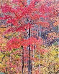 vivid red maple, virginia by christopher burkett