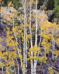 white aspens and rock wall, colorado by christopher burkett