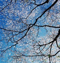 white dogwood canopy, kentucky by christopher burkett