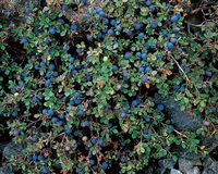 wild blueberries, labrador by christopher burkett
