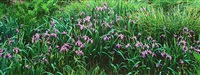 wild lavender iris, connecticut by christopher burkett