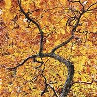 winding golden oak, virginia by christopher burkett
