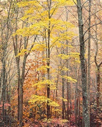 yellow maple, forest and light, virginia by christopher burkett