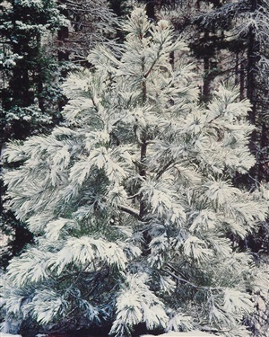 young pine and snow, oregon by christopher burkett