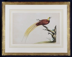 bird of paradise by william hayes