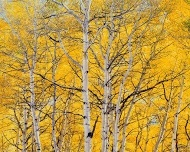 sunlit golden aspens, colorado by christopher burkett