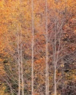 young yellow poplars, kentucky by christopher burkett