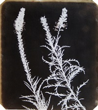veronica in bloom by william henry fox talbot