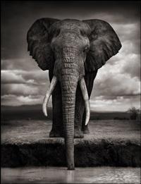 elephant drinking, amboseli by nick brandt