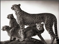 cheetah and cubs, maasai mara by nick brandt