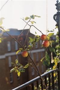 apple tree (f) by wolfgang tillmans