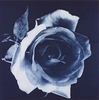 untitled (blue rose) by robert mapplethorpe