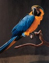 Nicholas Pace, Young blue and gold macaw