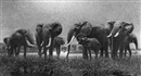 Arthur Radclyffe Dugmore, Elephants at the watering hole