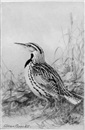 Allan Brooks, Eastern meadowlark