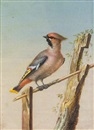 Ernst Friedrich Carl Lang, A waxwing on a perch