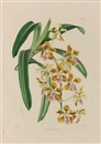 Walter Hood Fitch, Study of orchids (+ 5 others; 6 works)