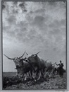 Ferenc Aszmann, Hungarian grey cattle