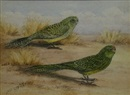 Neville William Cayley, Ground Parrots