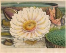 After Walter Hood Fitch, Victoria Regia or Illustration of the royal water-lily (collab. w/William Jackson Hooker; set of 4, folio)
