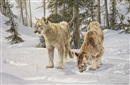 Willem de Beer, The inquisitiveness of youth: Young mountain lions in the early morning snow