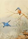 Neville William Cayley, Kingfishers (+ Buff-banded rail, study; 2 works)