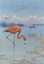 Allan Brooks, Flamingos
