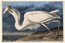 John James Audubon, Great White Heron (from The Birds of America)