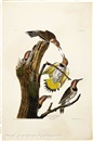 John James Audubon, Golden-winged Woodpecker