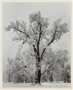 Ansel Adams, Oak Tree - Snowstorm