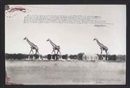 Peter Beard, Giraffes in mirage on the Taru Desert, Kenya, for the End of the Game, June