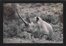 "Peter Beard, World-record Black Rhino in the Ruhuti River Valley of the Aberdare Forest (Front horn circa 47""), for the End of the Game/Last Word from Paradise"