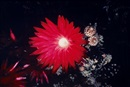 Nobuyoshi Araki, Flower of higanbana (from the series: The flowers from the other world)