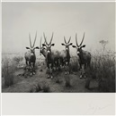 Hiroshi Sugimoto, Gemsbok (End of time exhibition poster), Gemsbok (End of time exhibition poster)