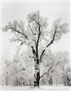 Ansel Adams, Oaktree, Snowstorm. Yosemite National Park, California