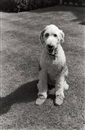 Elliott Erwitt, Pirate, the Johnston Family's dog, Pictured at Their Great Tew Estate, Banbury, Oxfordshire