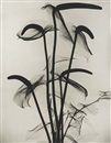 X-ray of anthuriums by Dain Tasker