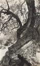 Olive tree, Ibiza by Elfriede Stegemeyer