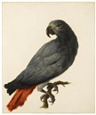 A grey parrot by Jan Hendrik Nicolaij