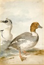 A pair of smew by Aert Schouman