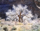 Cottonwood and Light, Utah by Christopher Burkett
