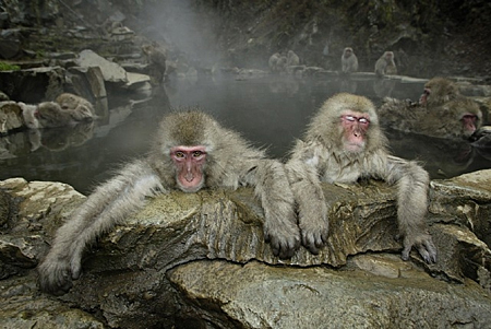 Japanese Monkey, Jigokundani, Japan by Maekawa