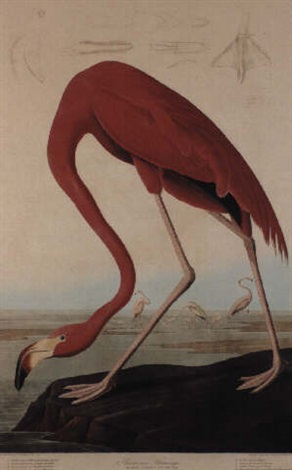 American Flamingo Pl Ccccxi By John James Audubon