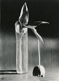 Melancholic Tulip by André Kertész