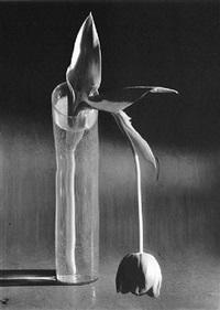 Tulipe mélancolique